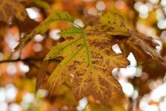 Φύλλα του φθινοπώρου - Macea, Arad, Ρουμανία Στοκ Εικόνα