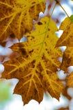 Φύλλα του φθινοπώρου - Macea, Arad, Ρουμανία Στοκ φωτογραφία με δικαίωμα ελεύθερης χρήσης