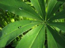 Φύλλα του lupine στοκ φωτογραφία με δικαίωμα ελεύθερης χρήσης