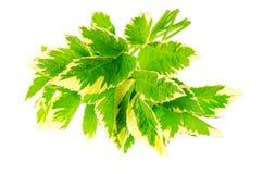 Φύλλα του podagraria Variegata Aegopodium Στοκ φωτογραφία με δικαίωμα ελεύθερης χρήσης