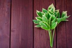 Φύλλα του podagraria Variegata Aegopodium Στοκ εικόνες με δικαίωμα ελεύθερης χρήσης