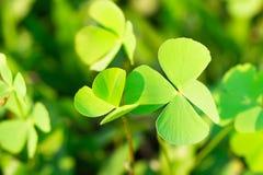Φύλλα τριφυλλιού για το πράσινο υπόβαθρο με τα three-leaved τριφύλλια στοκ εικόνες με δικαίωμα ελεύθερης χρήσης