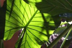 φύλλα τροπικά στοκ εικόνες