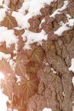 Φύλλα των άγριων σταφυλιών στο δέντρο το χειμώνα κάτω από το χιόνι Στοκ Εικόνες