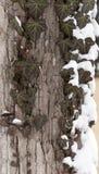 φύλλα των άγριων σταφυλιών στο δέντρο το χειμώνα Στοκ Εικόνες
