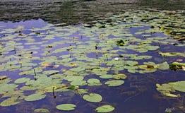 Φύλλα των κρίνων νερού στη λίμνη Fimon στην πόλη Arcugnano πλησίον Στοκ Εικόνα