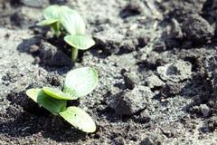 Φύλλα των νέων κολοκυθιών parostkov στοκ φωτογραφία