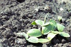 Φύλλα των νέων κολοκυθιών parostkov στοκ εικόνα με δικαίωμα ελεύθερης χρήσης