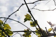 Φύλλα των σταφυλιών, άνοιξη Στοκ Εικόνες