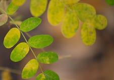 φύλλα φθινοπώρου ακακιών στοκ φωτογραφία