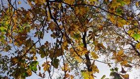 Φύλλα φθινοπώρου ενός κάστανο-δέντρου απόθεμα βίντεο