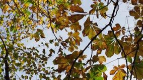 Φύλλα φθινοπώρου ενός κάστανο-δέντρου φιλμ μικρού μήκους