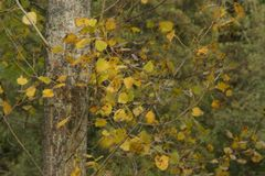 Φύλλα φθινοπώρου κίτρινα - μπροστινή άποψη Στοκ Εικόνες
