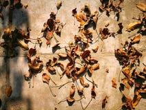 Φύλλα φθινοπώρου ξύλων καρυδιάς Στοκ Εικόνες