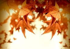 Φύλλα φθινοπώρου - πολύβλαστο φύλλωμα φθινοπώρου αναμμένο από τις ακτίνες ήλιων Στοκ Φωτογραφίες