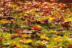 Φύλλα φθινοπώρου, πράσινες χλόη και ακτίνες ήλιων Στοκ Φωτογραφία