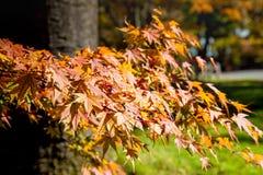 Φύλλα φθινοπώρου πτώσης στα δέντρα στην Ιαπωνία στοκ φωτογραφία με δικαίωμα ελεύθερης χρήσης