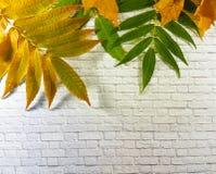 Φύλλα φθινοπώρου σε έναν άσπρο τουβλότοιχο Στοκ Εικόνες