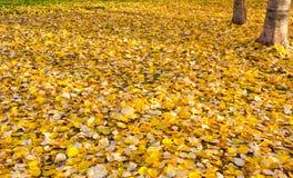Φύλλα φθινοπώρου στον ήλιο και θολωμένος Υπόβαθρο πτώσης στοκ εικόνες