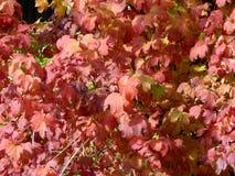 Φύλλα φθινοπώρου στους κλάδους των δέντρων Στοκ Φωτογραφίες