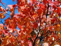 Φύλλα φθινοπώρου στους κλάδους των δέντρων Στοκ φωτογραφία με δικαίωμα ελεύθερης χρήσης