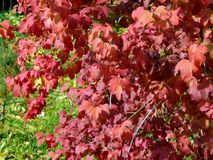 Φύλλα φθινοπώρου στους κλάδους των δέντρων Στοκ Εικόνες