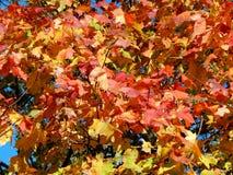 Φύλλα φθινοπώρου στους κλάδους των δέντρων Στοκ εικόνα με δικαίωμα ελεύθερης χρήσης