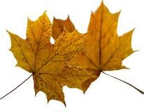 Φύλλα φθινοπώρου σφενδάμνου που απομονώνονται στο άσπρο υπόβαθρο στοκ φωτογραφία