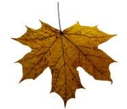 Φύλλα φθινοπώρου σφενδάμνου που απομονώνονται στο άσπρο υπόβαθρο στοκ εικόνες