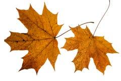 Φύλλα φθινοπώρου σφενδάμνου που απομονώνονται στο άσπρο υπόβαθρο στοκ φωτογραφίες