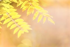 """Φύλλα φθινοπώρου του δέντρου τέφρας Ñ """"Ñ 'στις ακτίνες ενός φωτεινού ήλιου Στοκ Φωτογραφία"""