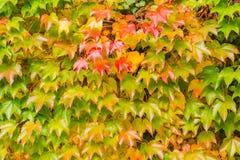 Φύλλα φθινοπώρου των άγριων σταφυλιών σε ένα υπόβαθρο του τοίχου Στοκ Εικόνες