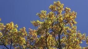 Φύλλα φθινοπώρου απόθεμα βίντεο