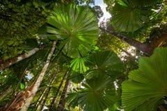Φύλλα φοινικών στο τροπικό δάσος Daintree Στοκ Εικόνες