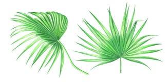 Φύλλα φοινικών Watercolor που απομονώνονται στο άσπρο υπόβαθρο Στοκ φωτογραφία με δικαίωμα ελεύθερης χρήσης