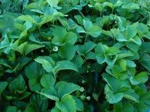 Φύλλα φραουλών Στοκ φωτογραφία με δικαίωμα ελεύθερης χρήσης