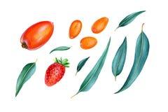 Φύλλα φραουλών, persimmon, κουμκουάτ και ευκαλύπτων στοκ φωτογραφία