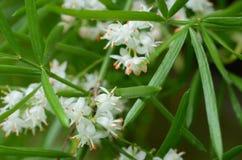 Φύλλα φτερών σπαραγγιού και μικροσκοπικά άσπρα λουλούδια στοκ εικόνες