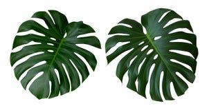 Φύλλα φυτών Monstera, η τροπική αειθαλής άμπελος που απομονώνεται στο άσπρο υπόβαθρο, πορεία στοκ φωτογραφία με δικαίωμα ελεύθερης χρήσης