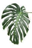 Φύλλα φυτών Monstera, η τροπική αειθαλής άμπελος στοκ εικόνες με δικαίωμα ελεύθερης χρήσης