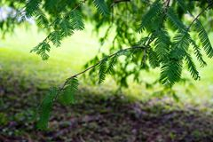 Φύλλα φύλλων με το πάτωμα κήπων από το δέντρο toxodiaceae metasequioia glyptostroboides mammut από την Κίνα στοκ εικόνες