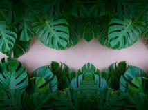 Φύλλα φύλλων Monstera που χρησιμοποιούνται ως υπόβαθρο σχεδιασμός στοκ εικόνες