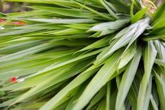 Φύλλα amaryllifolius Pandanus στοκ φωτογραφία με δικαίωμα ελεύθερης χρήσης