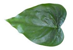 Φύλλα Araceae Στοκ Φωτογραφία