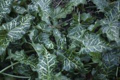 Φύλλα Arum στην άνοιξη Στοκ εικόνες με δικαίωμα ελεύθερης χρήσης
