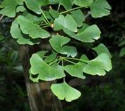 Φύλλα BIloba GInko Στοκ φωτογραφία με δικαίωμα ελεύθερης χρήσης