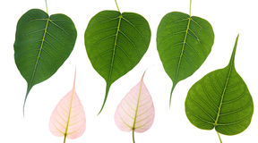 φύλλα bodhi Στοκ Εικόνα