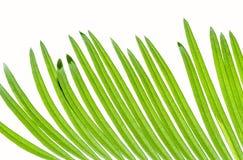 Φύλλα Cycas που απομονώνονται στο λευκό Στοκ Εικόνες