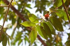 Φύλλα Flacourtia rukam στο άσπρο υπόβαθρο στοκ φωτογραφία με δικαίωμα ελεύθερης χρήσης