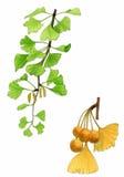 φύλλα ginkgo καρπού biloba Στοκ φωτογραφίες με δικαίωμα ελεύθερης χρήσης